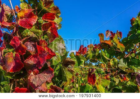 Beautiful grape leaves feature reds and greens in an Anderson Valley vineyard