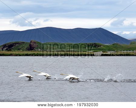 Flight start of whooper swans in Iceland July 7 2017