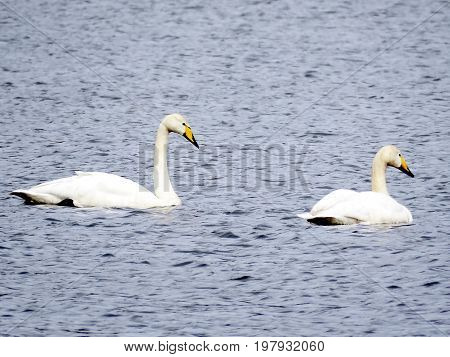 Two whooper swans in Iceland July 7 2017
