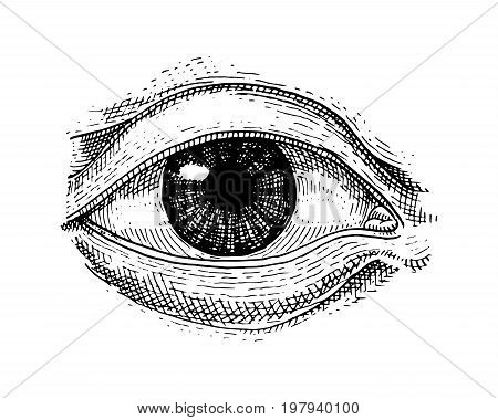Human biology, organs anatomy illustration. engraved hand drawn in old sketch and vintage style. face detailed eye or view or look