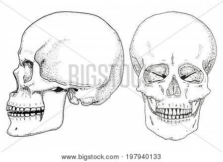 Human biology, anatomy illustration. engraved hand drawn in old sketch and vintage style. skull or skeleton silhouette. Bones of the body. side and front view or face and profile