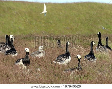 Flock of Barnacle Geese in the grass in Iceland July 7 2017
