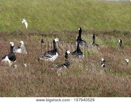 Flock of Barnacle Geese on the grass in Iceland July 7 2017