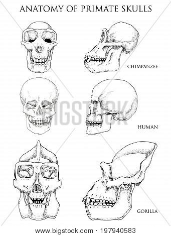 Human and chimpanzee, gorilla. biology and anatomy illustration. engraved hand drawn in old sketch and vintage style. monkey skull or skeleton or bones silhouette. front view or face and profile