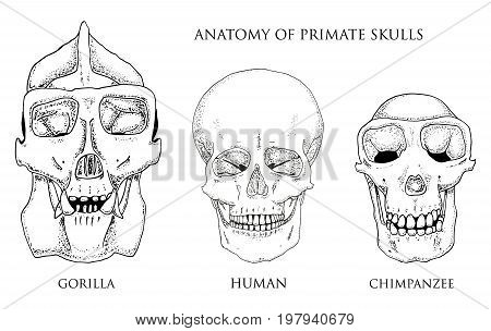 Human and chimpanzee, gorilla. biology and anatomy illustration. engraved hand drawn in old sketch and vintage style. monkey skull or skeleton or bones silhouette. front view or face