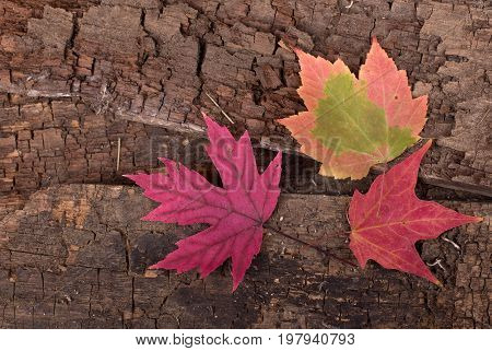 Colorful autumn maple leaves on a wood surface