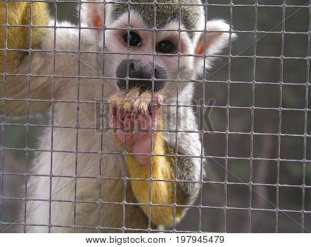 Little Squirrel Monkey in Zoological Park France
