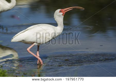 Ibis swallows down water from the pond in Deland Florida.