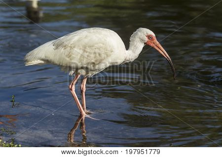 Ibis wades in water in Deland Florida.