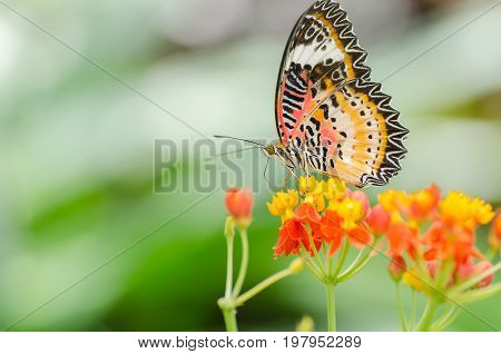 Beautiful butterfly pollination on flowers in the garden