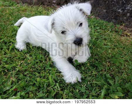 West highland white terrier puppy at 8 weeks old in garden on green lawn grass