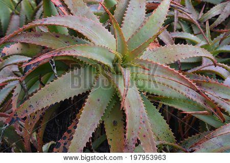 background horizontal image of California succulent plant