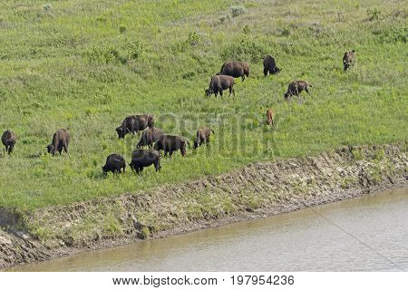 Herd of Bison on a Meadering Stream in Theodore Roosevelt National Park