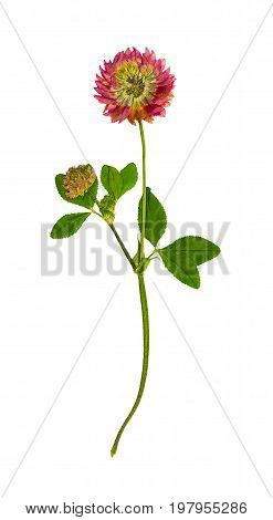 Pressed and dried flower red clover or trifolium pratense. Isolated on white background. For use in scrapbooking floristry (oshibana) or herbarium.