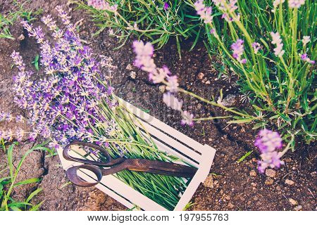 A bunch of freshly cut lavender flowers and rusty old scissors in a small white wooden crate laid over the soil among the blooming lavender bushes.