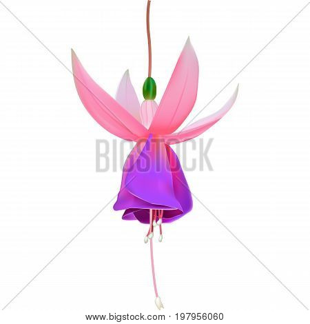 Beautiful vector illustration. Bright fragrant flower of fuchsia