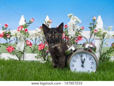 One small cute tortie kitten sitting in green grass with white picket fence red and white spring flowers next to a clock set for 1 o'clock. Daylight savings. Time springs forward at one AM