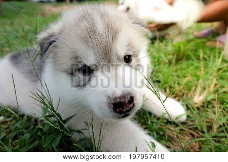 Siberian Husky Puppy Close Up On Background . .