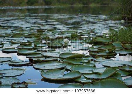 lilypads floating on a small pond stacked on top of eachother