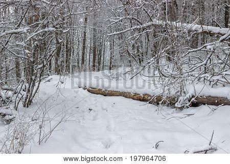 Winter Wood With Fallen Tree