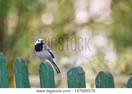 Wagtail sitting on an old fence. A beautiful bird on a blurred background in the second half of the day.