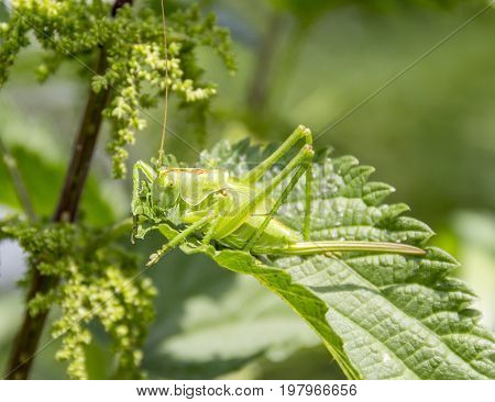 green grasshopper on green leaf in sunny ambiance