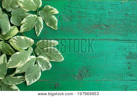 Frame from goutweed variegated leaves on old painted turquoise wooden background with copy space. Border is left. Place for text. Top view.