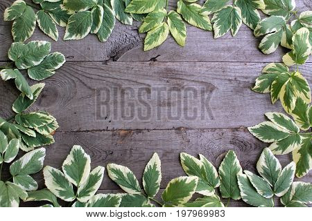 Frame from goutweed variegated leaves on old unpainted wooden background with copy space. Border is all around. Place for text. Top view.