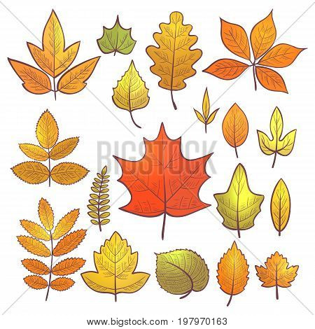 Set of colorful skeleton autumn leaves for decoration hello autumn. Vector