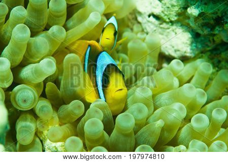 Clownfish Pair Close-up, Color Image, Underwater Image, Toned Image