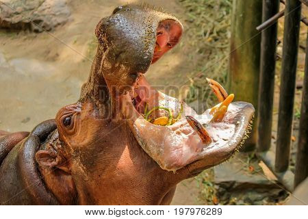 Close-up of hippo or Hippopotamus amphibius being fed in captivity