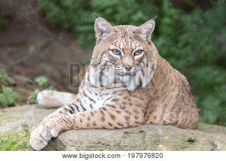 Bobcat (Lynx rufus californicus) resting on a rock and posing. Santa Clara County, California, USA.
