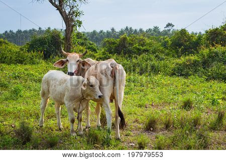 Cow And Calve Grazing On A Green Meadow In Sunny Day. Farm Animals.