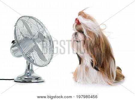 purebred shihtzu and fan in front of white background