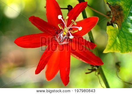 Passion flower Latin name Passiflora Susan Joy