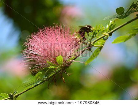 Powderpuff tree flower Latin name Calliandra surinamensis
