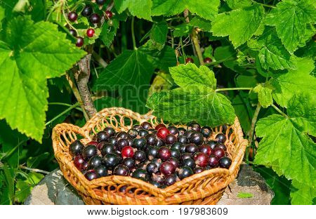 Berry black currants in a wicker plate on the background of the currant bush