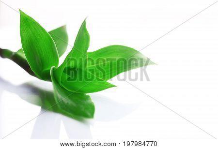 Plant Callisia fragrans on white background isolated closeup