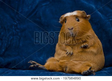 Funny guinea pig sitting in a funny pose on the dark blue background (with copy space on the left)