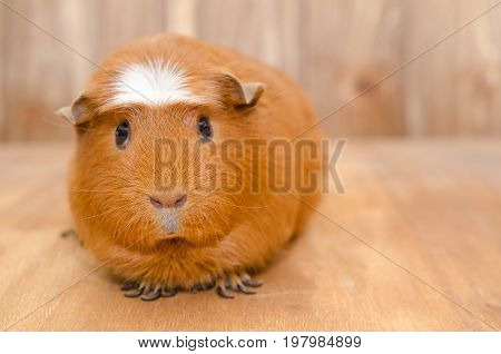 Cute guinea pig on a wooden background (with copy space on the right) selective focus on the guinea pig nose