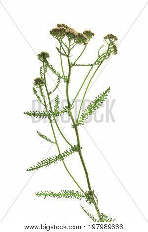 Common Yarrow (Achillea millefolium) flowering plant isolated against white backgroun