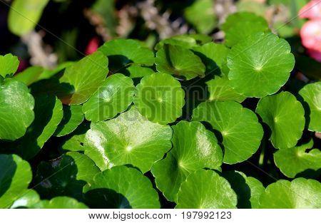 Aquatic Plant Of Home Garden