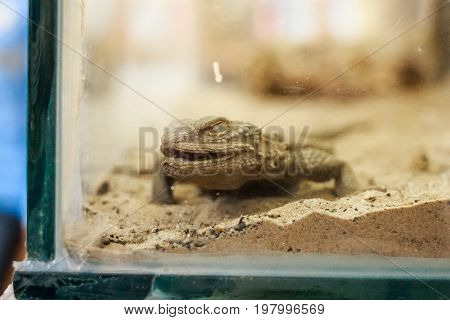 Close up central Bearded Dragon or Pogona vitticeps in tank