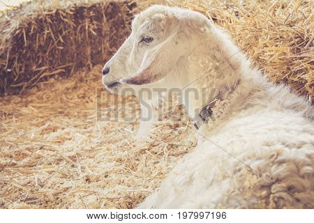 Handsome white goat with luxurious fur relaxes among bales of hay  at the country fair in vintage garden setting