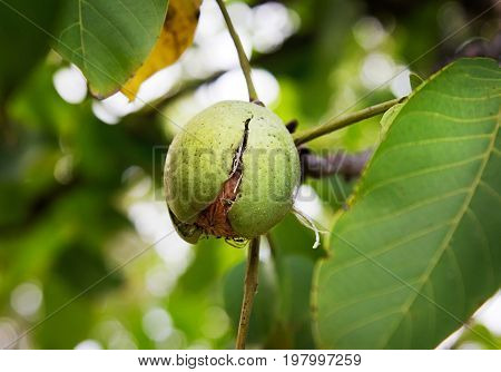 Ripe Nut In Green Hull On A Walnut Tree Autumn Harvest