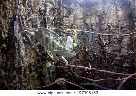 Veiled Beautiful Chameleon Walking On Stick.