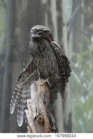 Partially extended wing extended beside a tawny frogmouth.