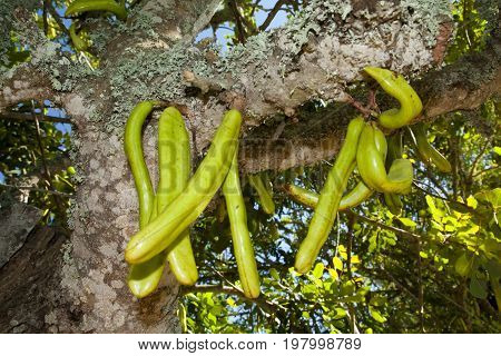 Parmentiera Edulis - Candle Tree Green Exotic Fruit.