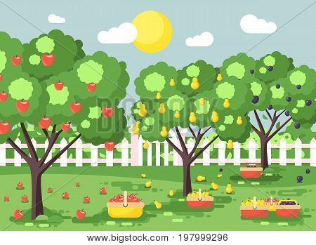 Stock vector illustration cartoon harvesting ripe fruit autumn orchard garden with plums, pears, apples trees, put crop in full baskets, green landscape scene outdoor background flat style