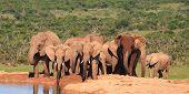 Elephant Family at Waterhole Addo Elephant National Park poster
